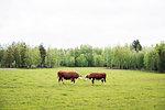 Two cows in a field in Dalarna, Sweden
