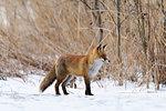 Red fox during winter in Uppland, Sweden