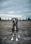 Portrait of large grey dog standing on wasteland