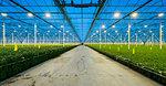 Greenhouse specialised in growing Chrysanthemums, Ridderkerk, zuid-holland, Netherlands