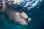 Manta Ray (Manta alfredi) feeds at the surface of the sea , Bali, Indonesia