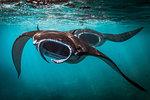 Two Manta Rays (Manta alfredi) feeding at the sea surface, Bali, Indonesia