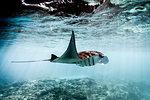 A Manta Ray (Manta alfredi) swimming over coral reef , Bali, Indonesia