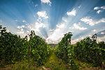 Morning sunlight over pinot blanc vineyard along the Naramata Bench, South Okanagan Valley, Naramata,  British Columbia, Canada