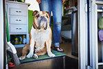 Portrait of bulldog and womans legs in trailer doorway