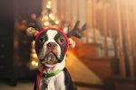 Boston terrier wearing festive antlers looking at camera