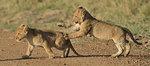 Two Masai Lion (Panthera leo nubica) cubs, Mara Triangle, Maasai Mara National Reserve, Narok, Kenya, Africa