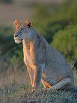 Portrait of a Masai Lioness (Panthera leo nubica), Mara Triangle, Maasai Mara National Reserve, Narok, Kenya, Africa