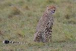 Sitting Cheetah (Acinonyx jubatus raineyii ), Mara Triangle, Maasai Mara National Reserve, Narok, Kenya, Africa