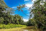 Euterpe oleracea (açai), Igarapé, Amazon, Belem do Pará, Para, Brazil