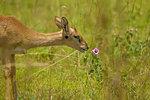 Oribi (Ourebia ourebi) Antelope, Murchison Falls National Park, Uganda