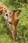 Rothschild's Giraffe (Giraffa camelopardalis rothschildi), Murchison Falls National Park, Uganda