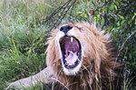 Male lion yawning, safari, Maasai Mara National Reserve, Kenya, East Africa, Africa