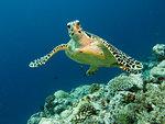 Reef turtle swim in light clear water