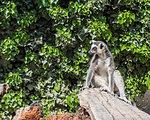 Single ring-tailed lemur catta sitting on a tree