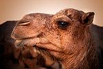 Camel head. Travel through the desert.