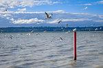 Seagull on red stake, Rotorua lake landscape, New Zealand
