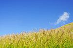 Field of Japanese Grass (Miscanthus Sinensis)
