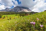 Flowering of autumnal Crocus nivea, La Valle (La Val) (Wengen), Badia Valley, South Tyrol, Dolomites, Italy, Europe