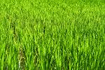 Green rice fields in Ubud, Bali, Indonesia, Southeast Asia, Asia