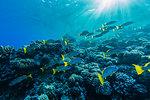 Colourful reef fishes on the reef at Tumakohua Pass, Fakarava Atoll, Tuamotus, French Polynesia, South Pacific, Pacific