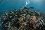 Diver exploring reef life, Alacranes, Campeche, Mexico