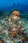 Divers exploring reef life, Alacranes, Campeche, Mexico