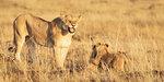 Roaring lioness with cubs, Masai Mara, Kenya, East Africa, Africa