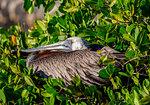 Brown pelican (Pelecanus occidentalis), Puerto Ayora, Santa Cruz (Indefatigable) Island, Galapagos, UNESCO World Heritage Site, Ecuador, South America