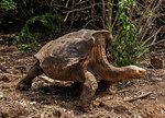 Giant Tortoise at Charles Darwin Research Station, Puerto Ayora, Santa Cruz (Indefatigable) Island, Galapagos, UNESCO World Heritage Site, Ecuador, South America