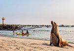 Sea Lion (Zalophus wollebaeki), Playa Mann, sunset, Puerto Baquerizo Moreno, San Cristobal (Chatham) Island, Galapagos, UNESCO World Heritage Site, Ecuador, South America