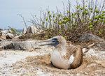 Blue-footed booby (Sula nebouxii) on a nest, Punta Suarez, Espanola (Hood) Island, Galapagos, UNESCO World Heritage Site, Ecuador, South America