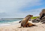 Galapagos Sea Lion (Zalophus wollebaeki) on a beach at Punta Suarez, Espanola (Hood) Island, Galapagos, UNESCO World Heritage Site, Ecuador, South America