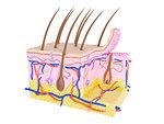 Illustration of skin cross-section.