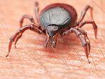 Illustration of a tick crawling on human skin.