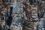 Rows of bruennich's guillemots (uria lomvia) perching together on coastal cliff,  Alkefjellet, Spitsbergen, Svalbard, Norway.