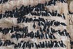Rows of bruennich's guillemots (uria lomvia) perched on coastal cliff,  Alkefjellet, Spitsbergen, Svalbard, Norway.
