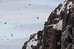 Bruennich's guillemots (uria lomvia) flying to and from cliff,  Alkefjellet, Spitsbergen, Svalbard, Norway
