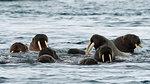 Atlantic walruses (Odobenus rosmarus) swimming in ocean,  Vibebukta, Austfonna, Nordaustlandet, Svalbard, Norway