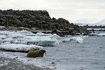 Atlantic walrus (Odobenus rosmarus) at water's edge, Edgeoya Island, Svalbard, Norway