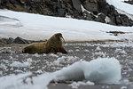 Atlantic walrus (Odobenus rosmarus) on Edgeoya Island, Svalbard, Norway