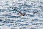 Northern fulmar (Fulmarus glacialis) flying over arctic ocean, Burgerbukta, Spitsbergen, Svalbard, Norway