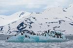Brunnich's Guillemots (Uria lomvia) on coastal iceberg, Burgerbukta, Spitsbergen, Svalbard, Norway.