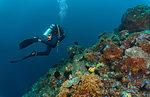 Male scuba diver passing colourful coral reef close to Komodo Island, Nusa Tenggara Timur, Indonesia