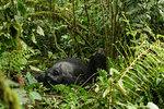 Mountain gorilla (gorilla beringei beringei) lying on it's back amongst undergrowth, portrait, Bwindi Impenetrable Forest, Uganda