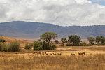 Landscape with lion pride (panthera leo), Ngorongoro Crater, Ngorongoro Conservation Area, Tanzania