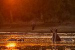 Hippopotamus Hippopotamus amphibius) with open mouth in waterhole at sunset, Mana Pools National Park, Zimbabwe