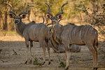 Kudu Tragelaphus strepsiceros) looking back, portrait, Mana Pools National Park, Zimbabwe