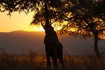 Silhouetted elephant (Loxodonta africana) reaching to feed from tree at sunset, Zambezi river, Mana Pools National Park, Zimbabwe