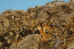 Family of ethiopian Wolves (anis simensis) on rocky hillside, Sanetti Plateau, Bale Mountains, Ethiopia